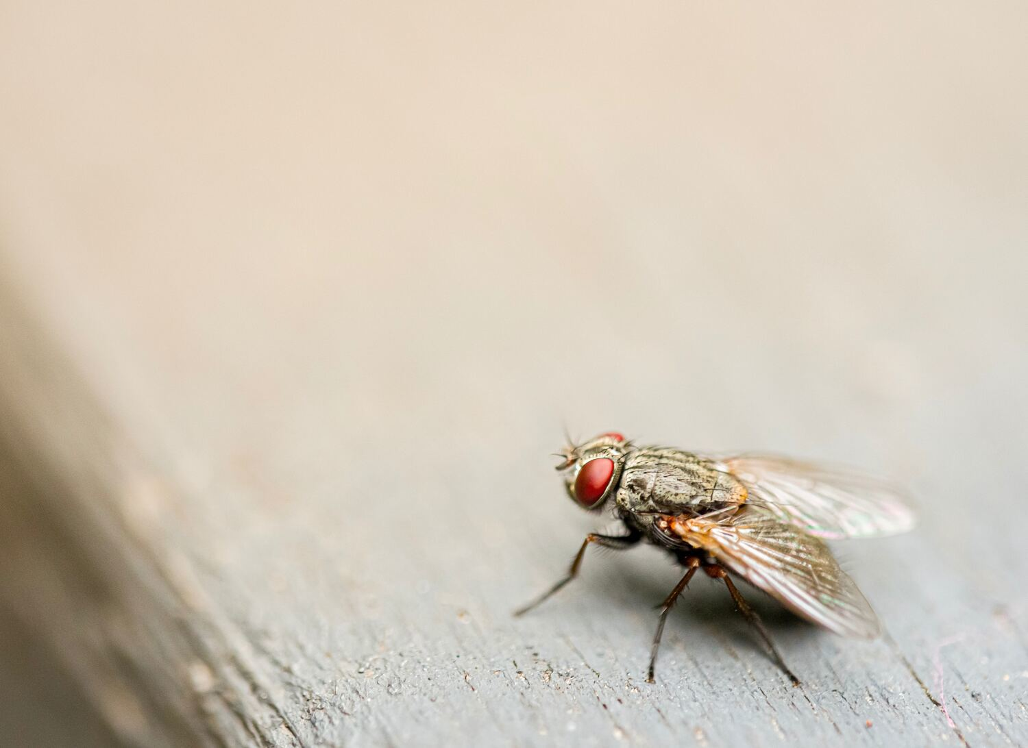 When do house flies become a problem?