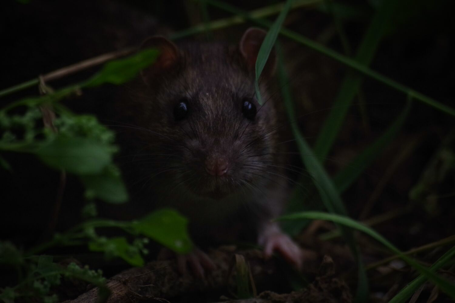 Don't ignore rodents – because they certainly won't ignore you