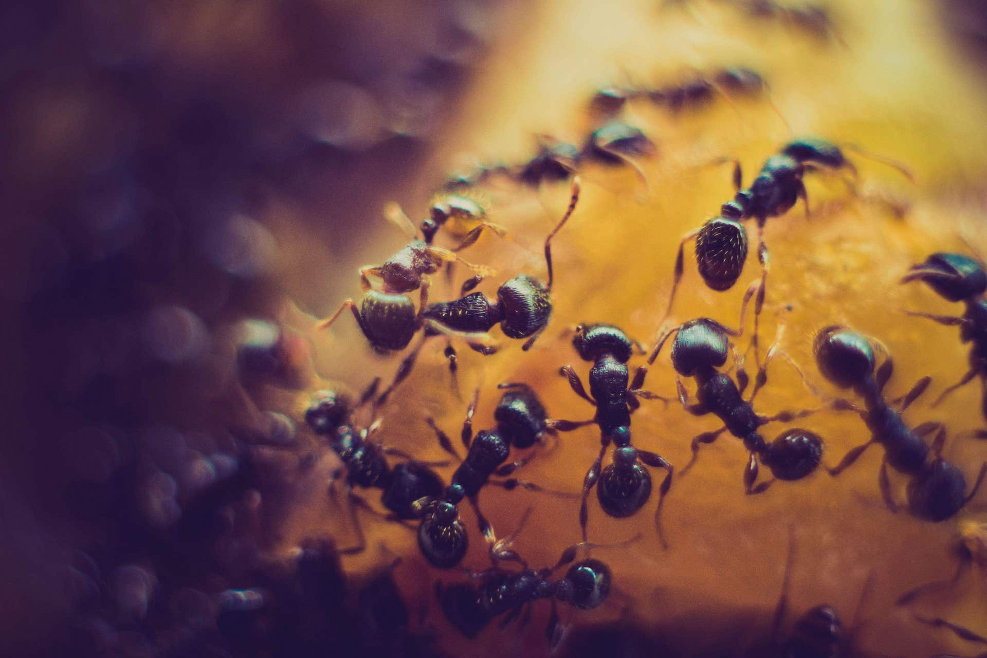 Ant colony removal